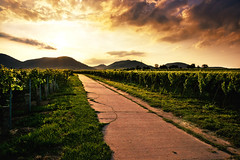 the vineyard (Dennis_F) Tags: light sunset sky sun nature clouds zeiss germany way landscape deutschland evening licht vineyard wine sony natur wide himmel wolken vine patch fullframe dslr karlsruhe sonne ultra pfalz ssm weg wein trauben 1635 uwa abends weitwinkel ultrawideangle sonnenlicht weinanbau uww palatinate a850 163528 sonyalpha sonydslr vollformat zeiss1635 sal1635z cz1635 sony1635 dslra850 sonya850 sonyalpha850 alpha850 sonycz1635 dennisfischer gettygermanyq2