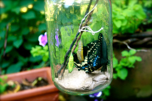 Butterfly in Jar