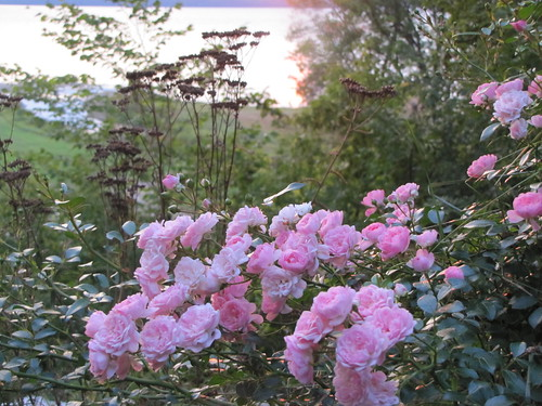 roses in the morning light
