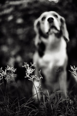 .take a deep breatH (27147) Tags: dog flower beagle grass garden village wind bokeh breath smell sit 27147 casalunar