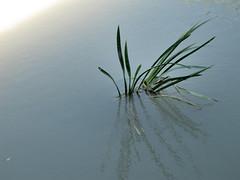 The Pond (Micheo) Tags: plant planta water pond agua branches pantano estanque minimalismo ramas cubillas embalsedelcubillas