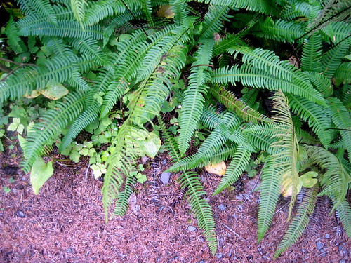 deer fern at lake quinault