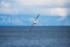 Fulmar Banking (Taraji Blue) Tags: cold bird expedition iceland arctic fulmar polar banking seabird arcticcircle northernhemisphere gapadventures denmarksea