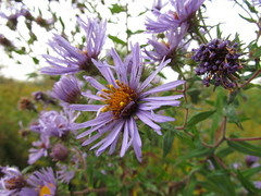 Autumn Asters IMG_0216 SX30 IS macro mode (Jennz World) Tags: superzoom sx30is canonpowershotsx30is sx30istestshots