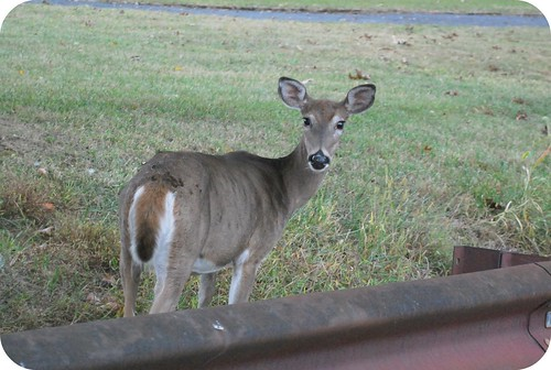 Deer at Valley Forge