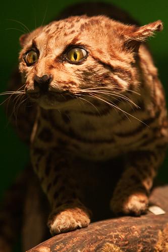 HMNH cat