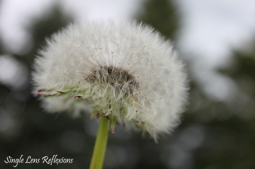 Dandelion Details