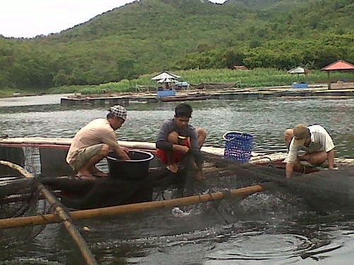 Masa panen ikan