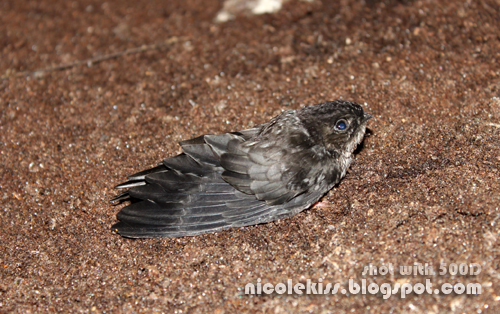 broken winged bird in deer cave