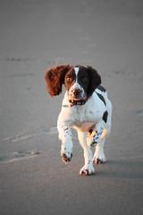 IMG_5901 (chrisgandy2001) Tags: sea dog sun cute english beach ess wales puppy sand ears jess spaniel springer springerspaniel doggy pup liver gwynedd puppydog barmouth northwales englishspringerspaniel englishspringer