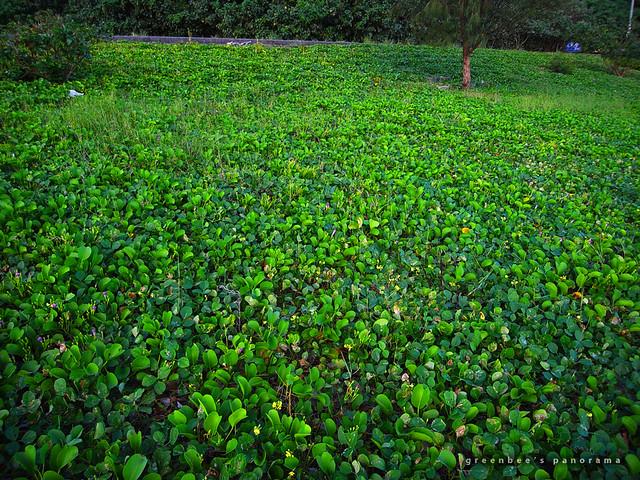 緑の絨毯(玉城の浜辺)