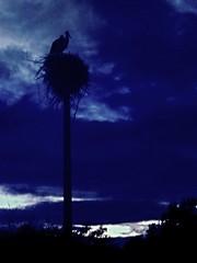 CIMG4181 stork nest after sunset (pinktigger) Tags: blue italy nature birds night italia nest storks friuli fagagna cicogna oasideiquadris feagne