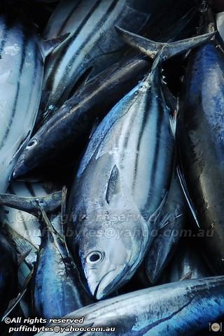 Skipjack Tuna - Katsuwonus pelamis