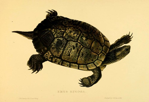 015-Emys Rugosa-Tortoises terrapins and turtles..1872-James Sowerby