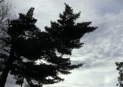after the storm (dmixo6) Tags: trees sky nature pine muskoka dugg dmixo6