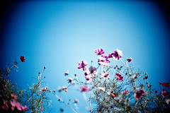 up (moaan) Tags: flower flowering flora cosmos blue sky bluesky upward hope autumn october leica m7 leicam7 noctilux 50mm f10 leicanoctilux50mmf10 fujivelvia100 rvp100 bokeh dof life inlife utata 2010 gettyimagesjapanq1 gettyimagesjapanq2