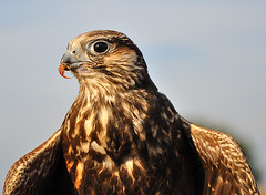 Europese Buizerd - Common Buzzard - Buteo buteo (RuudMorijn) Tags: holland dutch festival first made raptor holanda buzzard common paysbas regional buteobuteo vogel biesbosch eerste 2010 falco noordbrabant falco buteo buizerd europese rapace habicht accipitergentilis commonbuzzard hollanda pasesbajos musebussard holands rapaces hollandse drimmelen belanda olandese europesebuizerd paesibassi hollandal  holands    busevariable  nerlandaise gemeentedrimmelen      biesboschstreekfeest streekfeest  bayaahin