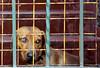 Privação da vida (Angélica Sousa) Tags: dog grid sadness tristeza loneliness sad grade triste cachorro lonely prisoner solidão solitário preso prisioneiro privation privação