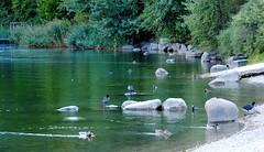 trasparenza (ballcla (Claudio Ballestra)) Tags: lake water lago agua nikon eau stones ducks lac pierres sassi acqua trentino piedras patos papere gmt canards caldonazzo lagodicaldonazzo mywinners ballcla