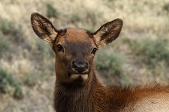 Juvenile elk calf - 2 of 4 in series (Alan Vernon.) Tags: park young deer antlers mature national rack yellowstonenationalpark yellowstone elk calf juvenile wapiti canadensis cervus alanvernon copyright2010alanvernon mammalwyoming