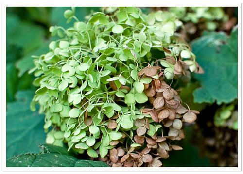 Fall Green Hydrangea