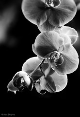 A few orchids (alan shapiro photography) Tags: orchid sepia canon mono orchids exploring wandering 2010 roaming alanshapiro flowerphotography gardenphotography masterphotos wonderfulworldofflowers awesomeblossoms monochromeflowers monochromegarden anotherdayinthegarden ©2010alanshapiro alanshapirophotography monochromeflowerphotography monochromeblooms monochromeblossoms momentsofmonochromebeauty flowerphotographybyalanshapiro wwwalanwshapiroblogspotcom ©2010alanshapirophotography