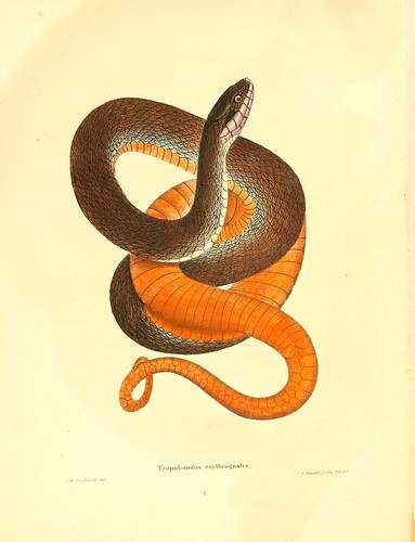 019-Tropidonotus erythogaster-North American herpetology…1842-Joh Edwards Holbrook