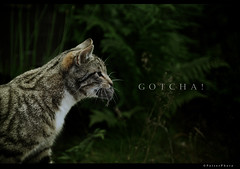 Gotcha! (PetterPhoto) Tags: color cat photoshop mouse death nikon kill play selection nikkor 18200 gotcha tool d300s petterphoto