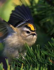 Golden Crowned Kinglet (William  Dalton) Tags: bird birds searchthebest explore sandyhook goldencrownedkinglet reguluscalendula kinglet explore389