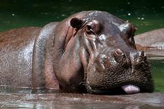 Yummy Yummy Hippo