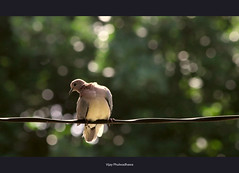 Counting the Bokeh.. (Vijay..) Tags: bird nature bokeh dove explore counting 309 xsi camon explored ef70300 450d vijayphulwadhawa