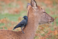 hitching-a-ride (Mike Angel .) Tags: reddeer richmondpark jackdaw