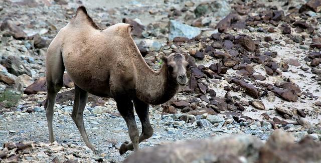 bactrian camels ladakh