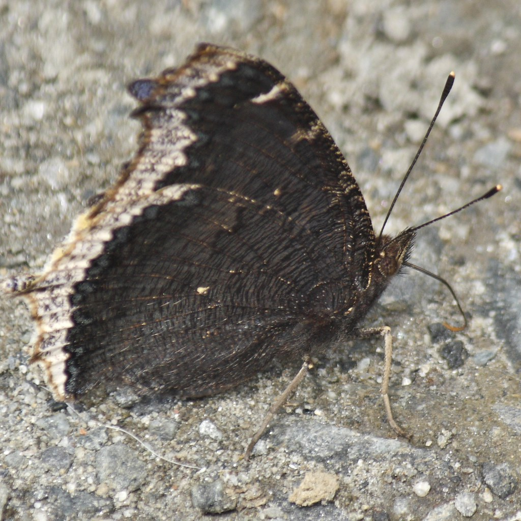 Mourning Cloak (4)