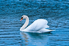 Swan (Sergiu Bacioiu) Tags: blue wild white lake reflection bird nature water beautiful animal animals swimming swim germany season outdoors bayern swan wings pond peace ripple background wildlife seasonal wing feathers feather peaceful wave grace elegant graceful deu purity outstandingromanianphotographers hchstdtanderdonau
