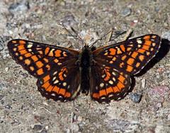 Scarce Fritillary (Euphydryas maturna) (Ardeola) Tags: butterfly lepidoptera fritillary fjäril euphydryas scarcefritillary maturna euphydryasmaturna asknätfjäril hummelsvedjan wwwnkisinfoflickr0066z6327