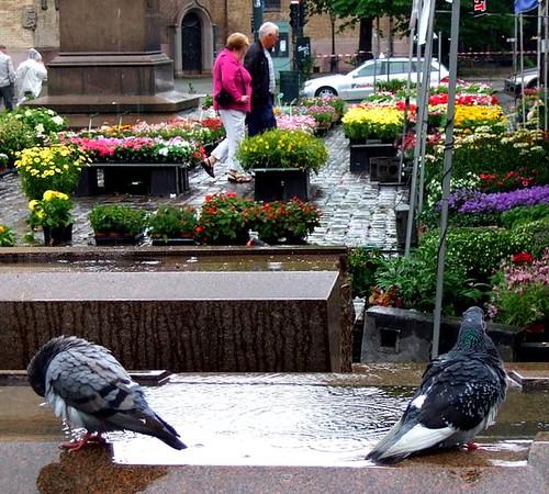 Oslo pigeons