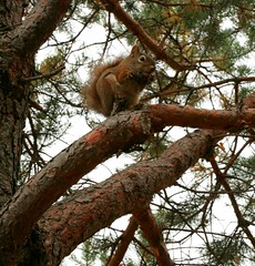 Darn Tourists, can I eat my pine cone in peace! (Cindy's Here) Tags: ontario canada tree canon rodent squirrel eating pinecone needles thunderbay terryfoxmonument