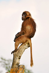 Baboon on the highest point