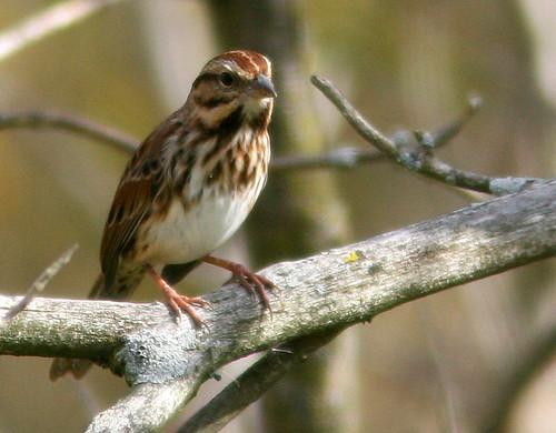 Song Sparrow 3-20101015
