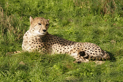 Just Chilling (Adam Swaine) Tags: county uk england green beautiful animals canon countryside kent village britain wildlife east cheetah bigcats 2010 counties naturelovers eynsford thisphotorocks eagleheightskent adamswaine mostbeautifulpicturesmbppictures