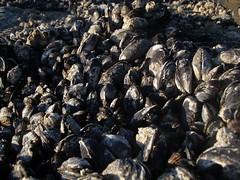 Mussels (dandlymambly) Tags: ocean autumn fall beach oregon coast october hiking tidepools tidal 2010