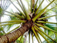 Under the Palm (Faish Knight) Tags: world beautiful by palms that one is warm paradise symbol coconut dream pride it palm most beaches tropical imagine breeze maldives surrounded sway breathtaking fascinating pristine the farish gently powdery imfarish