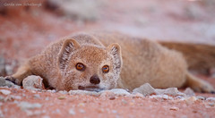 Resting, but still alert (gerdavs) Tags: wildlife yellowmongoose cynictispenicillata specanimal geelmuishond kgalagdi2010