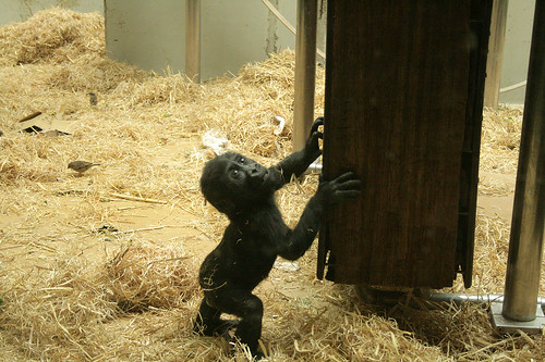 Gorillababy / Mountain gorilla baby