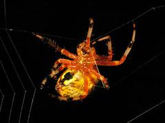 Making Repairs (zxgirl) Tags: orange alexandria yellow bug virginia spider spiders web arachnid flash spiderweb bugs creepy va arachnids arthropods arthropoda arachnida orbweaver s5 huntleymeadows arthropod araneus araneae dcr250 raynox orbweavers araneidae araneomorphae marbledorbweaver araneusmarmoreus img0189 entelegynes