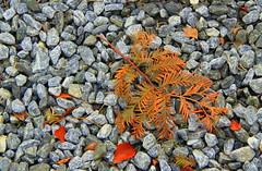 The Time Of Year (Tina-Pina) Tags: autumn leaves grey rust gravel dawnredwood fallingonstonyground