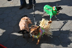 Little dogs (thoth1618) Tags: nyc newyorkcity costumes dog pet pets ny newyork halloween animal animals brooklyn costume october brooklynheights brooklynheightspromenade parade promenade gothamist halloweenparade 2010 howloween brooklynpromenade brooklynny dogparade dogcostumes dogcostume dogincostume brooklynusa muttsquerade petsincostume dogincostumes brooklynheightsblog 103010 petincostume animalsincostumes animalincostume halloween2010 october302010 perfectpawsinc the8thannualhowloweenmuttsqueradeparade