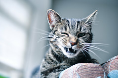 Sheba (Jaleeesa) Tags: house window animal cat tooth nose grey living nikon raw f14 room teeth bank ears lazy sheba bllue 30mm d90 gluecksmomente