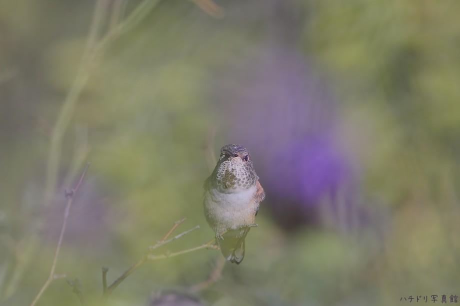 Allen's Hummingbird 110510-2